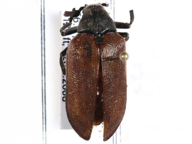 Image of Cicada Parasite Beetles