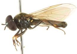 Image of <i>Melanostoma fasciatum</i> (Macquart 1850)