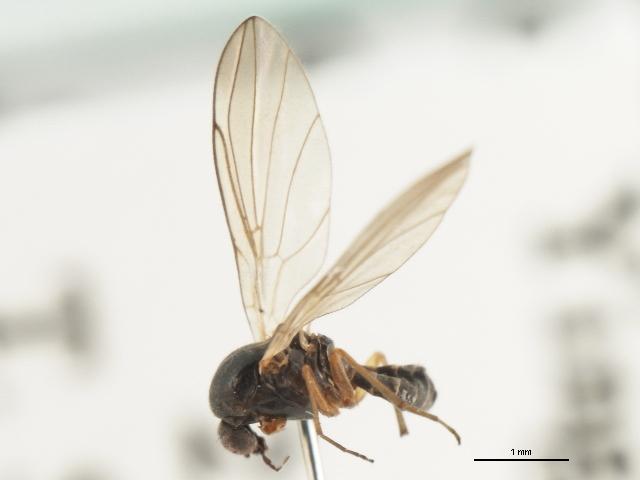 Image of Androprosopa