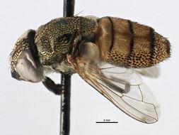 Image of Rhiniinae