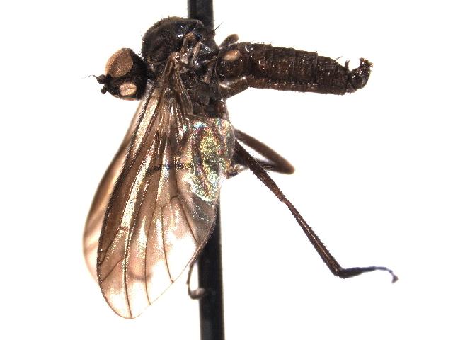 Image of Trichopezinae