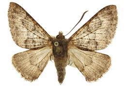Image of Sematurinae