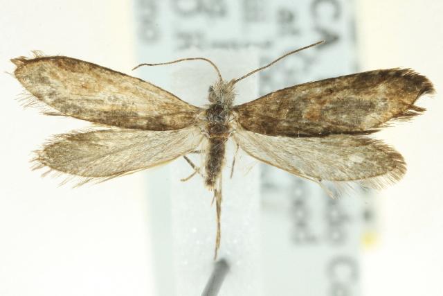 Image of Dyseriocrania