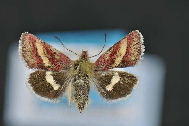 Image of Narinosus