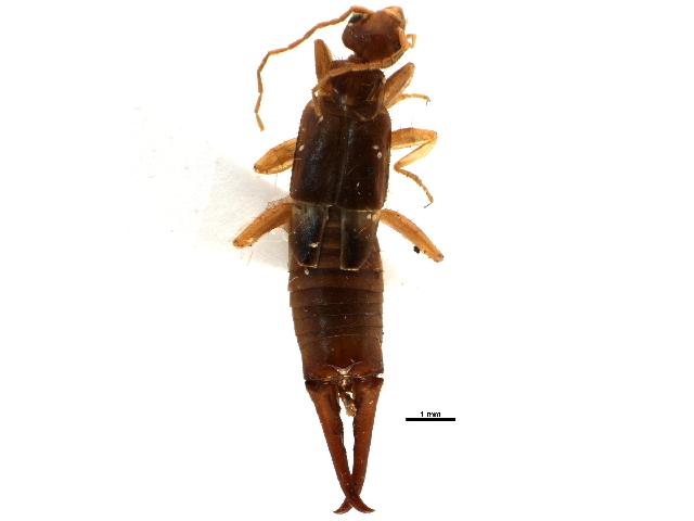 Image of little earwig