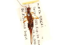 Image of Opisthocosmiinae Verhoeff 1902