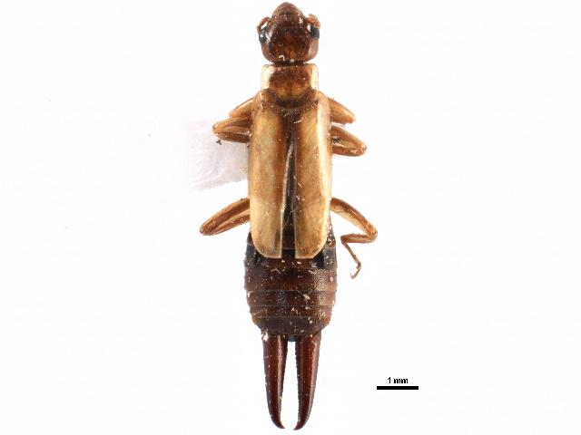Image of Forficulinae Latreille 1810