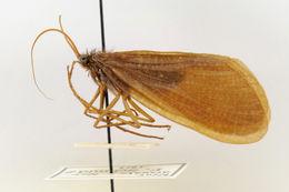 Image of Phryganeinae