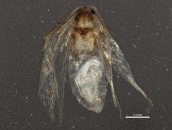 Image of <i>Stigmella lapponica</i> (Wocke 1862) Fletcher et al. 1945