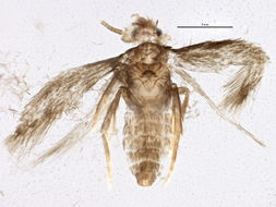 Image of <i>Stigmella betulicola</i> (Stainton 1856) Beirne 1945