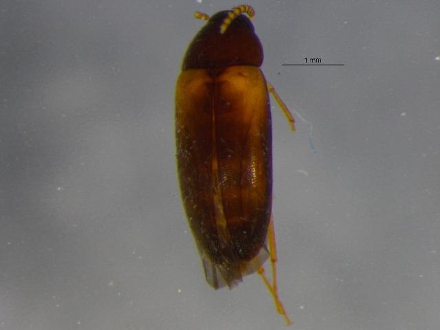 Image of <i>Hallomenus scapularis</i> Melsheimer 1846