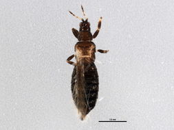 Image of <i>Ctenothrips bridwelli</i> Franklin 1907