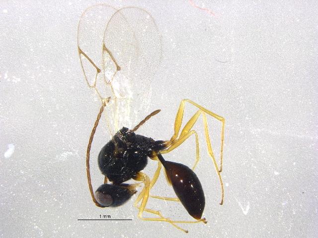 Image of <i>Anacharis eucharioides</i>