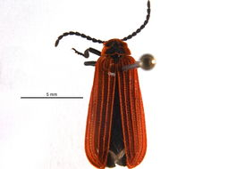 Image of Dictyoptera
