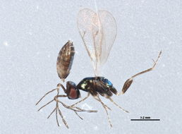 Image of Hemiptarsenus