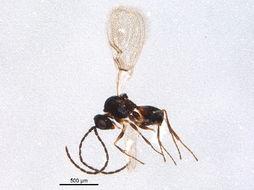 Image of Kleidotoma