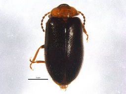 Image of <i>Cyphon confusus</i> Brown 1930