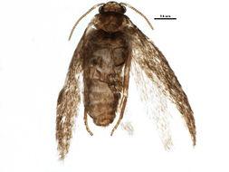 Image of <i>Ectoedemia populella</i> Busck 1907