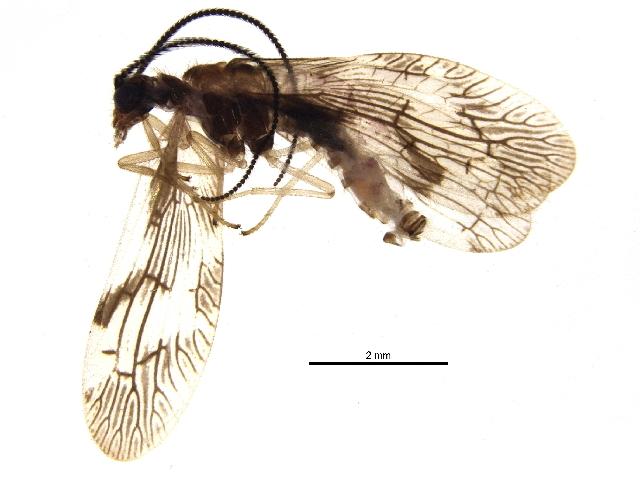 Image of <i>Climacia areolaris</i> (Hagen 1861)