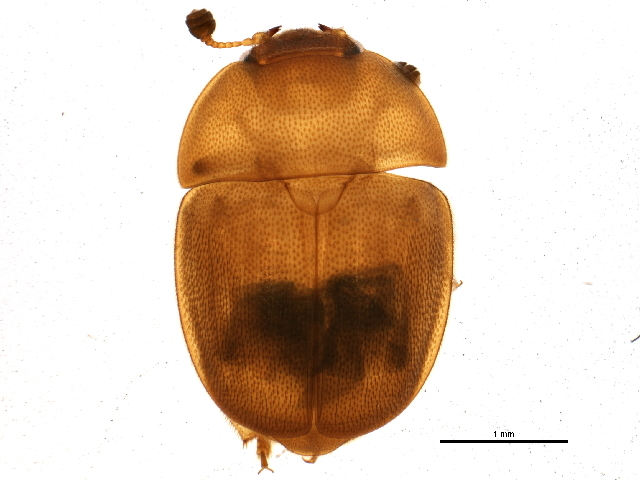 Image of <i>Cychramus adustus</i> Erichson 1843