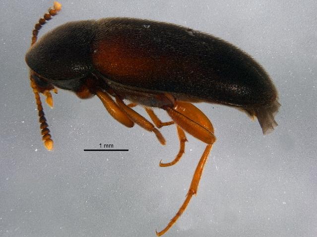 Image of <i>Pseudoholostrophus discolor</i> (Horn 1888)