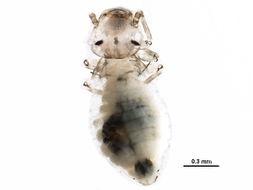 Image of <i>Philotarsus californicus</i> Mockford 2007