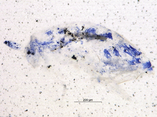 Image of <i>Entomobrya intermedia</i> Brooks 1993
