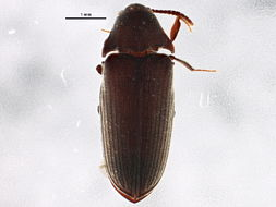 Image of <i>Pactopus hornii</i>