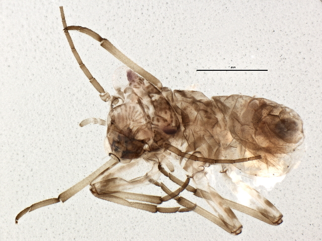 Image of Mesopsocus