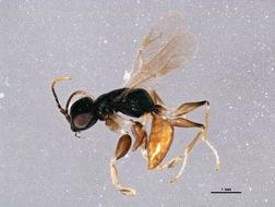 Image of <i>Anteon fulviventre</i>