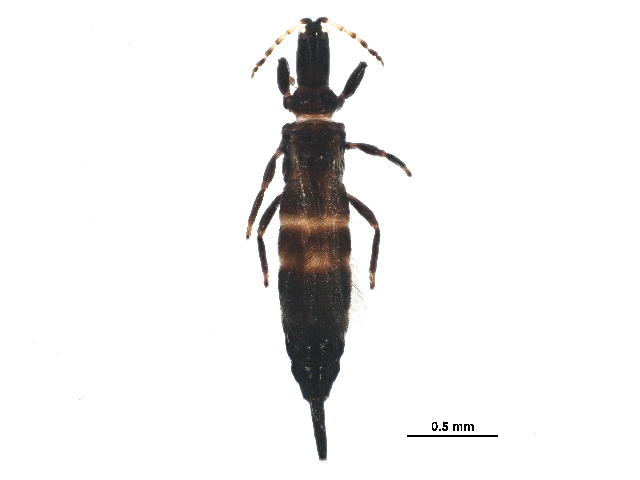 Image of Bolothrips