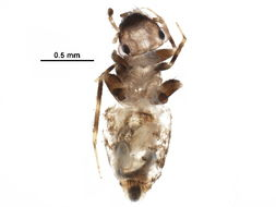 Image of Pteroxanium