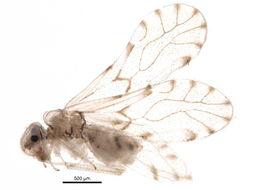 Image of <i>Trichopsocus dalii</i> (Mc Lachlan 1867)