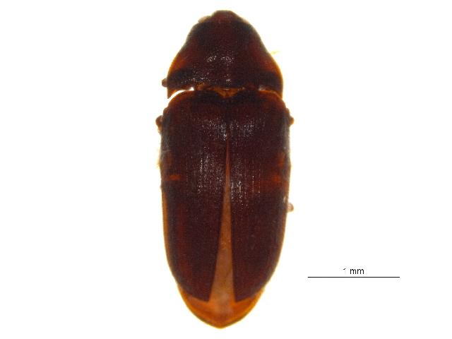 Image of <i>Trixagus carinicollis</i> (Schaeffer 1916)
