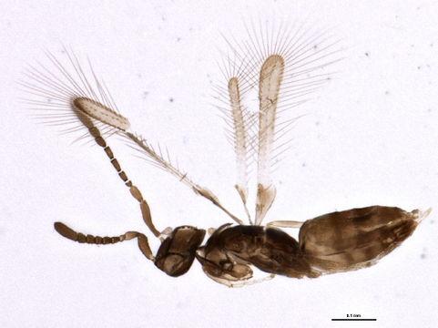 Image of Cleruchus