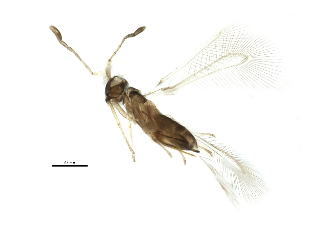 Image of <i>Anagrus ustulatus</i> Haliday 1833