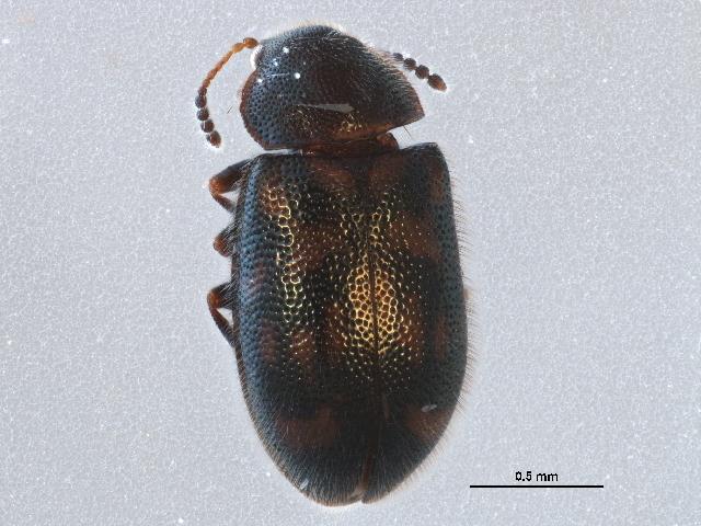 Image of <i>Tetratoma</i> (<i>Abstrulia</i>) <i>canadensis</i> Nikitsky 2004