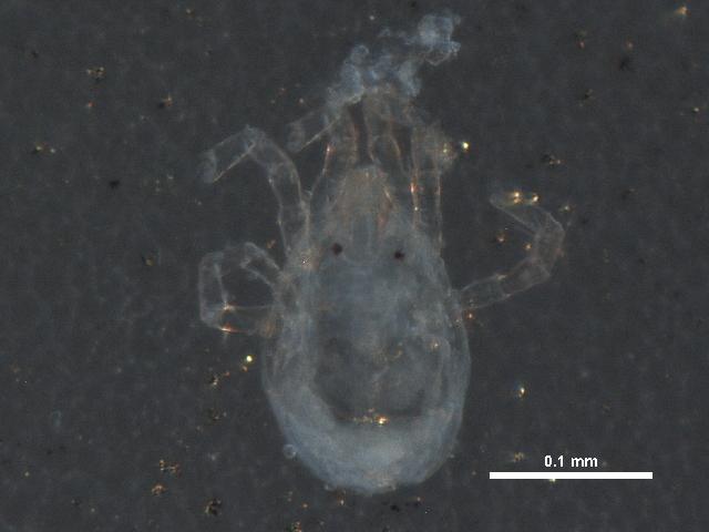 Image of Aturidae