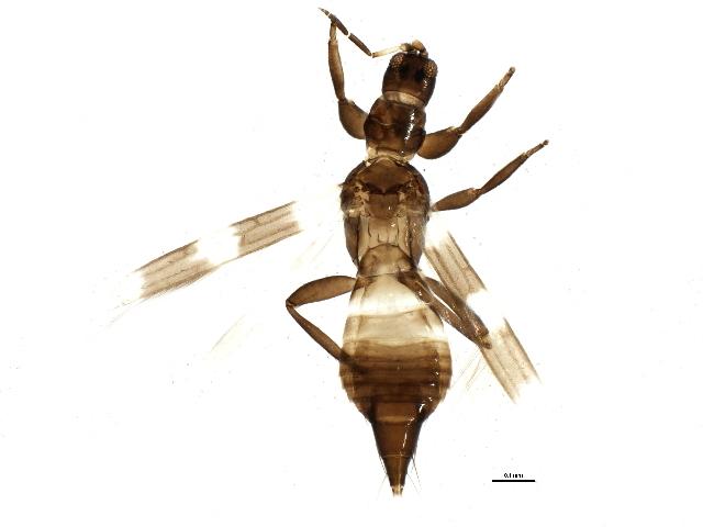 Image of <i>Aeolothrips fasciatus</i> (Linnaeus 1758)