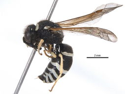 Image of <i>Ancistrocerus</i>