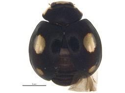 Image of <i>Hyperaspis signata</i> (Olivier 1808)