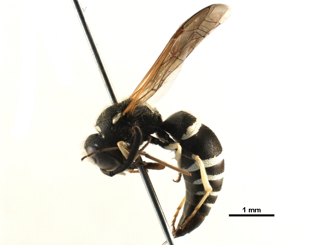 Image of <i>Ancistrocerus catskill-group</i>