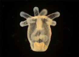 Image of sea onion