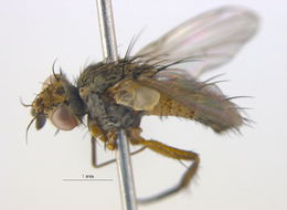 Image of <i>Siphona multifaria</i> O'Hara 1982