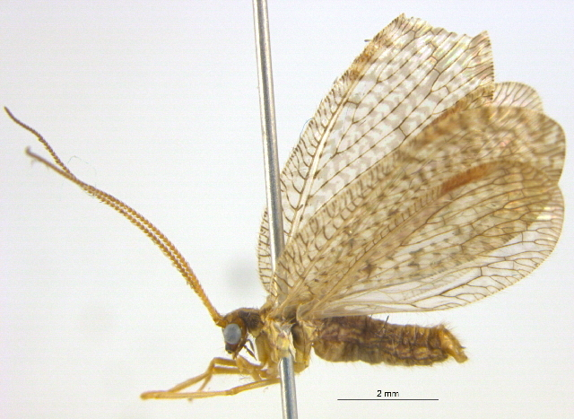 Image of <i>Hemerobius conjunctus</i> Fitch 1855