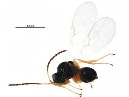 Image of <i>Alloxysta circumscripta</i>