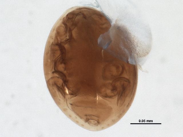 Image of <i>Uroobovella orri</i> Hirschmann 1972