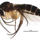Image of <i>Sceptonia fuscipalpis</i>
