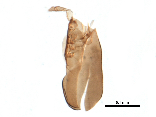 Image of Ceratokalummidae