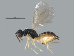 Image of Elachertus